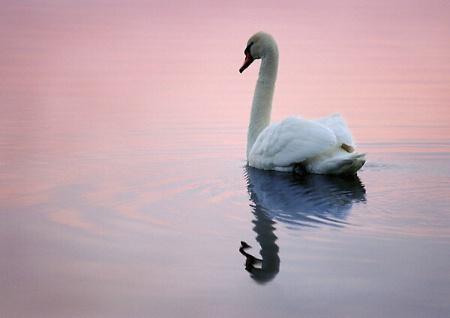 A Swan at Dusk