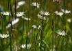 Prairie Daisies