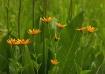 Orange Flowers Ag...