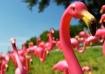 Flamingo Herd