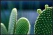 Budding Cacti
