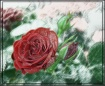 Plastic Rose Effe...