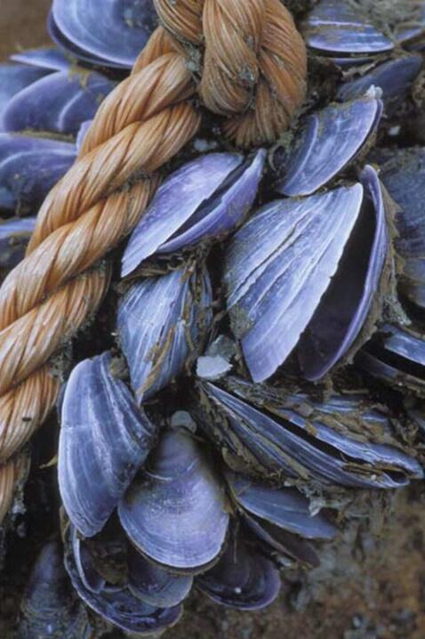 AN-001 Maine Mussels - ID: 645136 © Kristina Morgan