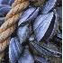© Kristina Morgan PhotoID# 645136: AN-001 Maine Mussels