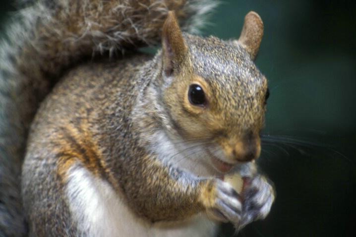 AN-004 Squirrel #1 - ID: 645139 © Kristina Morgan