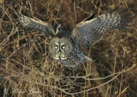 The Photo Contest 2nd Place Winner - Great Grey Owl