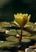 Golden Water Lily