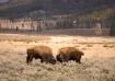 Buffalo showdown