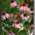 2Cone Flowers - ID: 1095671 © William Greenan