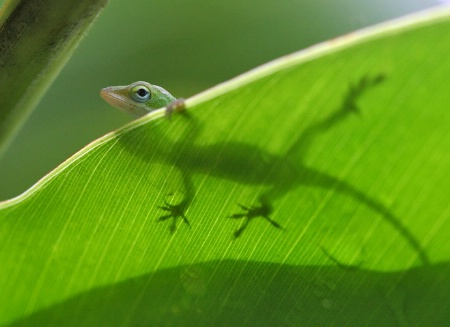 A Gecko and his Silhouette