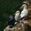The Gannet Family