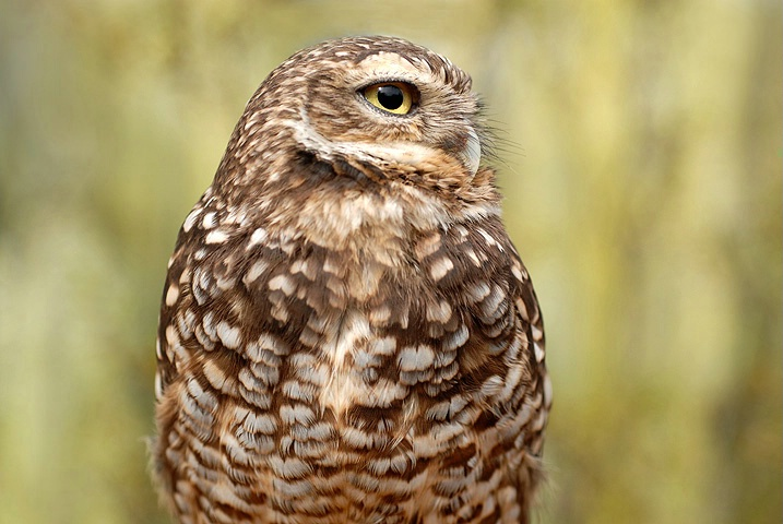 burrowing owl ll