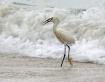 Cattle Egret in S...