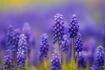 Grape Hyacinths P...