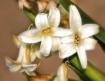 Hyacinth at Sunse...