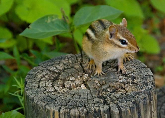 Chipmunk on Stump - ID: 4046010 © Gerda Grice