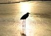 Golden Egret