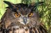 European Eagle Ow...