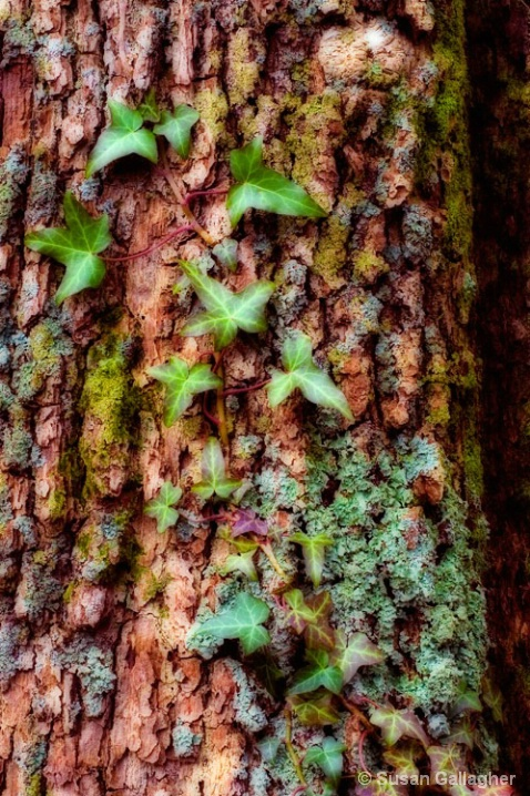 Tree ivy and moss - ID: 5974040 © Susan Gallagher