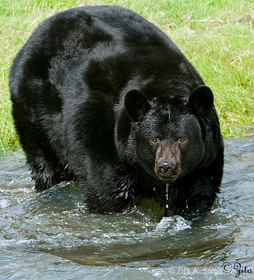 Bear-a-dise - ID: 6874254 © Zita A. Strother