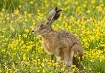 Hare in a sea of ...