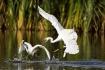 Dueling Egrets