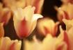 Spring Tulip'...