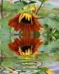 sunflower reflect...