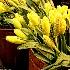 © Karol Grace PhotoID# 9696931: Buckets of Daffodils