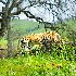 2tiger1 - ID: 9935723 © Zita A. Strother