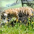 2tiger2 - ID: 9935724 © Zita A. Strother