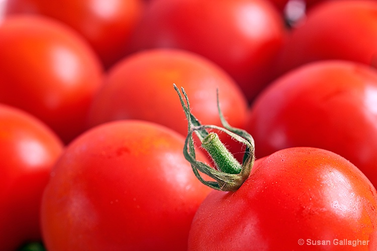 Tomatoes - ID: 10306816 © Susan Gallagher