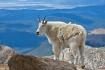 Mountain Goat Vie...