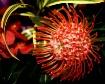 ~Protea Pincushio...