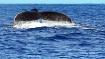 Humpback Whale Ta...