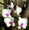 Maui Orchids