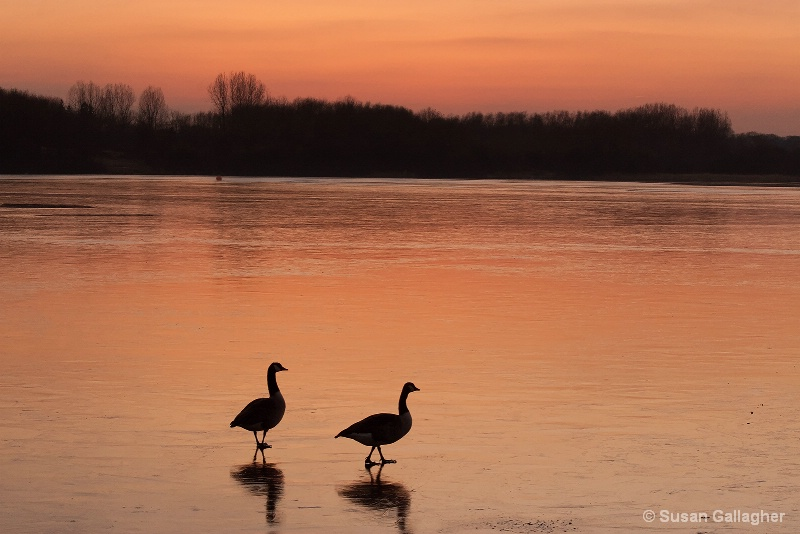 Geese At The Lake - ID: 11668008 © Susan Gallagher