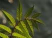 Sunrise Leaf