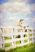 Barn Yard Dreamer