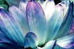 Water Lily  Petal...