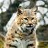 2Bobcat - ID: 13010865 © Zita A. Strother