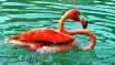 Flamingo Splash