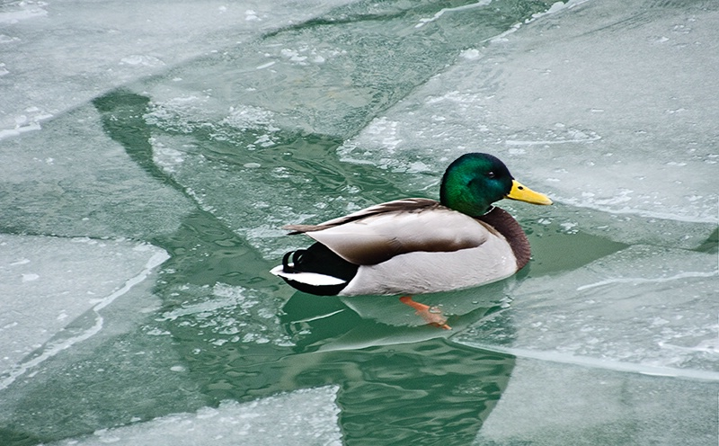 Mallard in Breaking Up Ice at Harbouirfront - ID: 13788245 © Gerda Grice