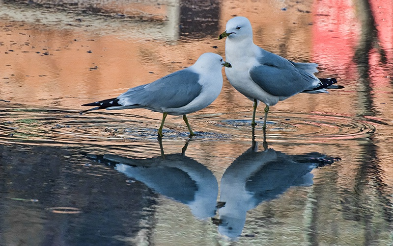 Gull Romance Reflected - ID: 13799880 © Gerda Grice
