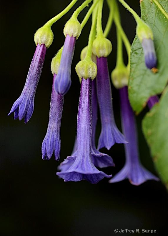 """Purple Trumpet Flower"""