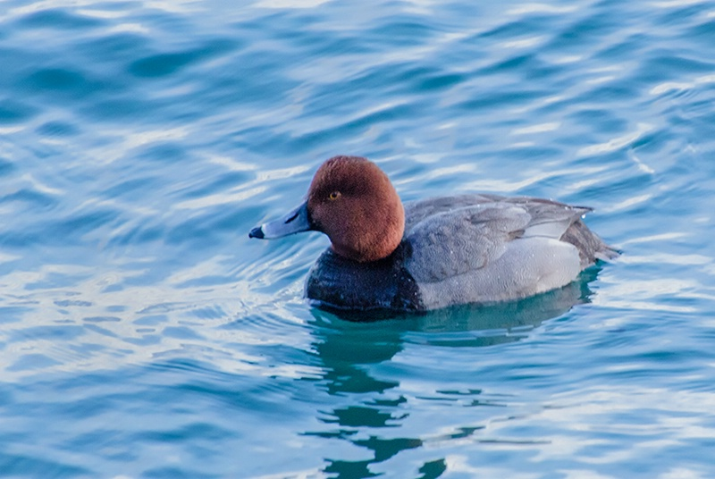 Male Redhead Duck in Choppy Water at Harbourf - ID: 13890796 © Gerda Grice