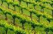 Vineyard Pattern ...