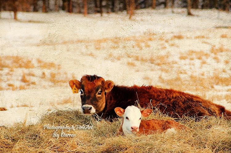 Mom and Winter Calf