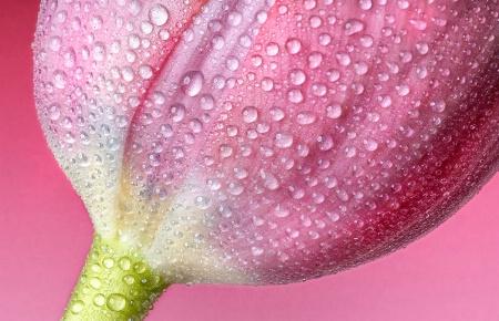 Tulip Tears