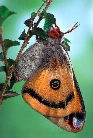 Walter's Silk Moth